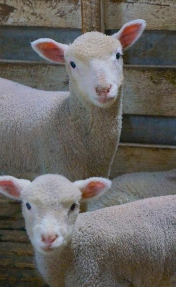 Model lambs